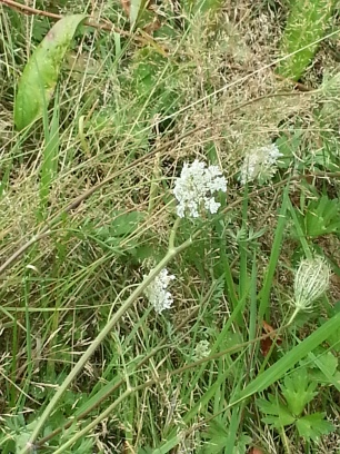 Wild Carrot in the orchard