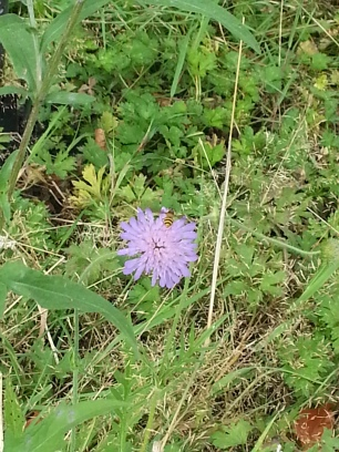 Field scabious with visitor!